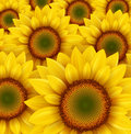 Sunflower field as summer background vector illustration Stock Images