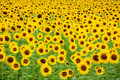 Sunflower field background Royalty Free Stock Image