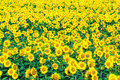 Sunflower field on background Royalty Free Stock Photo