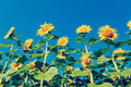 Sunflower field on background blue sky Royalty Free Stock Photo