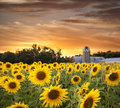 Sunflower field and barn at sunset Royalty Free Stock Photo