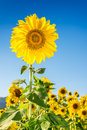 Sunflower field beautiful in blue sky background Royalty Free Stock Photo