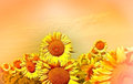 Sunflower field of beautiful and sky Royalty Free Stock Images