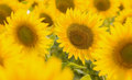 Sunflower field of beautiful yellow Royalty Free Stock Photos