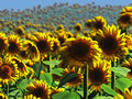 Sunflower field a of beautiful yellow sunflowers landscape bright and beautiful sunny sunflowers to bring light and joy to your Royalty Free Stock Photos