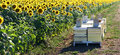 Sunflower field with bee hives Stock Photography