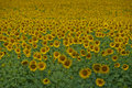 Sunflower field big of flowers of a in the sunny summer day Royalty Free Stock Images