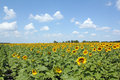 Sunflower field and blue sky Stock Photos