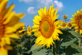 Sunflower field with blue sky Royalty Free Stock Photo