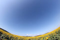Sunflower field with blue sky fish eye lens view Royalty Free Stock Photo