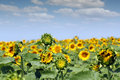 Sunflower field and blue sky summer Stock Image