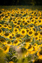 Sunflower field during bright summer day Royalty Free Stock Images