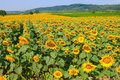 Sunflower field in Burgenland, Austria Royalty Free Stock Photo