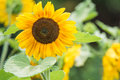 Sunflower in field Royalty Free Stock Photo