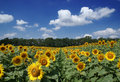 Sunflower field and cloudy blue sky Stock Images