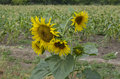 Sunflower in the field. Royalty Free Stock Photo