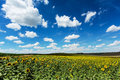 Sunflower field with cumulus clouds agriculture landscape flower heads Royalty Free Stock Photos