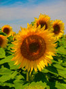 Sunflower on a field in daylight Royalty Free Stock Photography