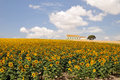 Sunflower field farm Royalty Free Stock Photo