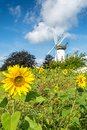 Sunflower field in front of historic windmill Royalty Free Stock Photo