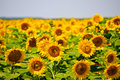 Sunflower field good for foods and biofuel campaigns Stock Photos