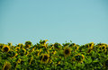 Sunflower field grows on the during the summer in south west brazil Royalty Free Stock Image