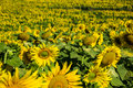 Sunflower field grows on the during the summer in south west brazil Royalty Free Stock Images