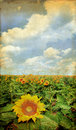 Sunflower Field on a Grunge Background Royalty Free Stock Photo