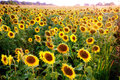 Sunflower field helianthus annuus is an annual species of grown as a crop for its edible oil and edible fruits seeds Royalty Free Stock Image