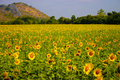 Sunflower field landscape in front of the mountain thailand Royalty Free Stock Photography