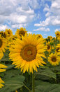 Sunflower field landscape view with Royalty Free Stock Photo