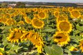 Sunflower field in Southern France Royalty Free Stock Photo