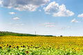 Sunflower field ocean of sunflowers in a large in bulgaria Stock Photos