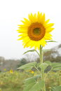 Sunflower field open garden flow Royalty Free Stock Photo