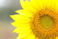 Sunflower field open garden flow Stock Images