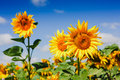 Sunflower field over cloudy blue sky Royalty Free Stock Photo