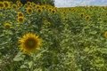 Sunflower field over cloudy blue sky and bright sun lights Royalty Free Stock Photo