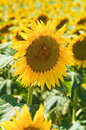 Sunflower field panoramic view with Stock Photos