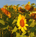 Sunflower on the field of ripening sunflowers for production of oil Royalty Free Stock Photos