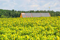 Sunflower field and solar plant Royalty Free Stock Images
