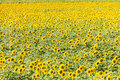 Sunflower field in the south of france Stock Image