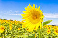 Sunflower field in the south of france Royalty Free Stock Images