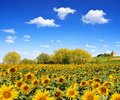 Sunflower field spring landscape with Royalty Free Stock Image