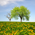 Sunflower field spring landscape with Royalty Free Stock Photography