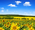Sunflower field spring landscape with Royalty Free Stock Photo