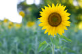 Sunflower at the field in summer Royalty Free Stock Photo