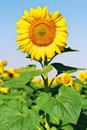 Sunflower in the field in summer Stock Photos