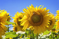 Sunflower field in the summer Stock Photography