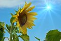 Sunflower at the field in summer Royalty Free Stock Photography