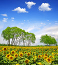 Sunflower field summer landscape with Stock Photos